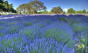 Lavender Farm, Santa Ynez, California