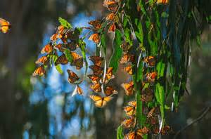 Monarch migration, Santa Barbara, California